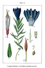 Gentiana pneumonanthe - Wikipedia