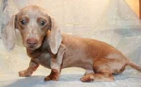 isabella tan blue miniature dachshund mini dachshund dachshund mini dachsie doxie puppies for
