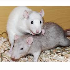 Average Pet Rat Weight And Nutrition Tips Rodent Friends