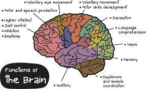 diagram of the brain unmasa dalha brain diagram