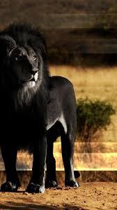 Black Lion Pictures Wallpaper 42217