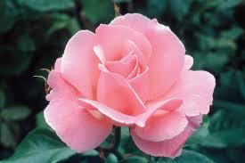 Rosa 'Queen Elizabeth' (Grandiflora Rose)