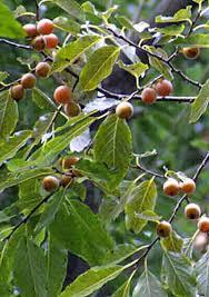 123 Best Frutas Images On Pinterest  Fruit Trees Nature And Plum Lotus Fruit Tree