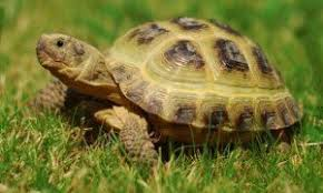 Russian Tortoise Age Size Chart Russian Tortoise Care Guide 2019 Free Download