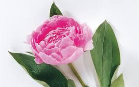 Roses Flowers Wallpapers 10683 Pink Rose Flower Wallpaper