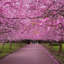 Bunga Sakura Fenomena Bunga Sakura Di Jepang Bunga Papan Lampung