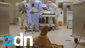 CUTE: <b>Loyal puppy</b> camps out in operating room during surgery on ...