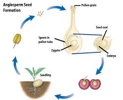 Plant Life Cycle Flow Chart Sexual Reproduction Grade 11 University Biology