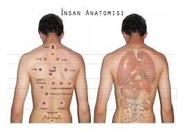 Hijama Cupping Points Chart Amended Points Chart With Organ Names Hijama Cupping London