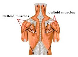 Roll your mouse over any muscle in the diagram below to learn its name. Meet Some Muscles Science Learning Hub