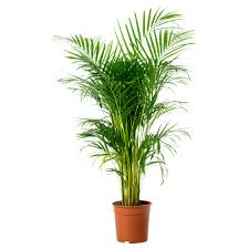 Common Name: Areca Palm Botanical Name: Chrysalidocarpus lutescens general  air purifier (one of the better, grows large)
