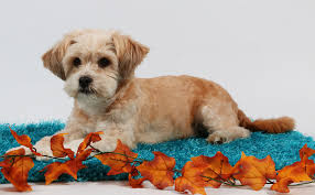 the poodle is more likely to vocalize than the shih tzu and the shih tzu has a retion for possessing a stubborn streak