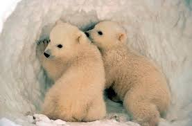 grolar bear size grizzly moms to carry polar babies russian scientists say the dodo
