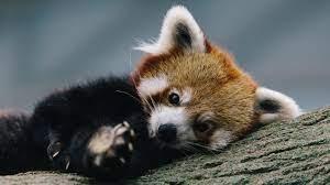 Red Panda Background on WallpaperSafari