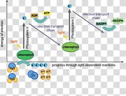 Lightdependent Reactions Png Clipart Images Free Download