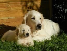 Golden Retriever Puppy Feeding Chart 11 Best Dog Food For Golden Retrievers Updated For 2019