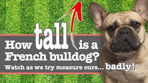 How Tall Is A French Bulldog Height Measured Video