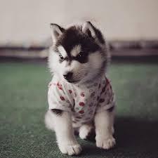 baby husky puppies tumblr. Perfect Husky More Info Instagram  Facebook Amazon Tumblr Twitter Behance For Baby Husky Puppies E