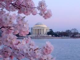 Image result for pictures of cherry blossom in washington dc