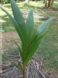 sri lankan trees coconut tree coconut tree