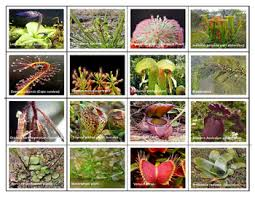 Popular Carnivorous Plants Mini Matching Cards