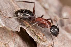 Ant Identification How To Get Rid Of Ants