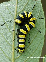 Black Caterpillar Identification Chart Help With Caterpillar Identification Wildlife Insight