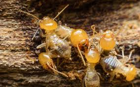Image result for Termite Treatment: Why Is It So Important?