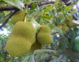 Poisonous Trees In Florida  Florida HikesFruit Trees For North Florida