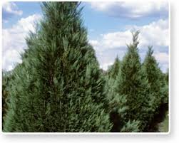 Christmas Trees from Florida...Really! | Fresh from Florida Blog
