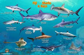 Fiji Sharks Rays Guide Franko Maps Laminated Fish Card