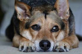 Canine Lymphoma Symptoms Canine Malignant Lymphoma In Dogs Symptoms Causes