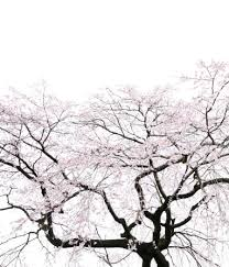 桜の花のスマホ壁紙 検索結果 1 画像数6735枚 壁紙com