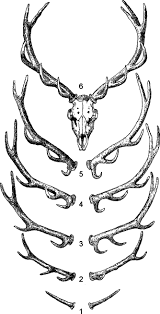 Antlers An Overview Sciencedirect Topics