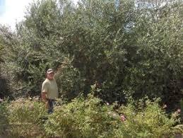 Olive Tree Growers Olive Tree Varieties Arbequina