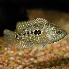 Texas Fish Chart Fw Texas Cichlid Small