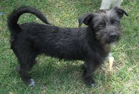 wire hair terrier mix breeds. Plain Breeds Intended Wire Hair Terrier Mix Breeds