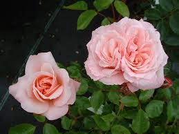 Buy Rosa Octavia Hill from Perryhill Nurseries by mail order