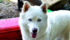 white husky wolf mix with blue eyes. Simple Mix White Wolf Dog Blue Eyes  Photo24 For Husky Wolf Mix With Blue Eyes