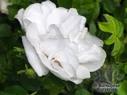 rosa rugosa blanche double de coubert award