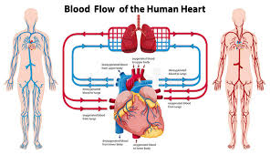 Cardiac Anatomy Chart Diagram Showing Blood Flow Of The Human Heart Stock Vector