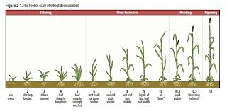 Wheat Growth Chart Agronomy Update