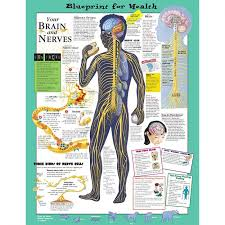 Your Brain And Nerves Anatomical Chart