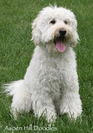 Image result for pICTURES OF A WHITE GOLDENDOODLE ?