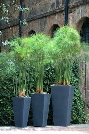 tall outdoor plants patio great idea for on privacy and shade in small area large pots screen view