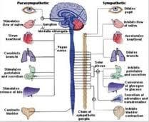 Sympathetic Vs Parasympathetic Nervous System Made For Medical