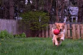 the jolly ball tug n toss is one of our favorite outdoor dog toys
