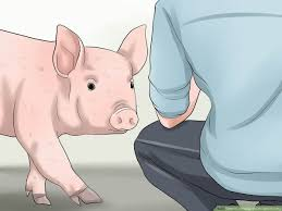 Show Pig Weight Gain Chart 3 Ways To Increase The Weight Of A Pig Wikihow