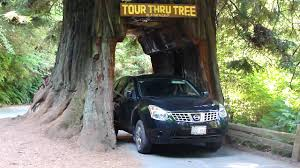 drive thru tree in redwood forest california