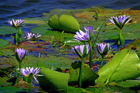 leaf flower purple bloom summer jungle botany sacred lotus aquatic plant flora water lily wildflower habitat ecosystem south africa